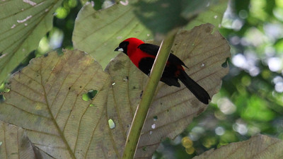 "Masked Crimson Tanagers sport some intensely rich red (and a characteristic ""silver-beak"") and are rarely far from water. Photo by guide Mitch Lysinger."