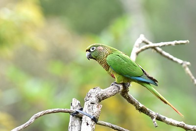 This month's third highlighted Brazil tour focuses on the endemic-rich Atlantic Forest at Serra Dos Tucanos in the southeast. Participant Daphne Gemmill shared this lovely image of a Maroon-bellied Parakeet.