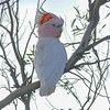Few birds can top the colorful crest of the Major Mitchell's Cockatoo. Photo by participant Randy Siebert.