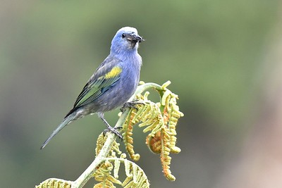 Golden-chevroned Tanager (a Blue-gray cousin) is one of the many species restricted to southeast Brazil. Photo by participant Daphne Gemmill.