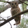 A cooperative Barred Owl during our daytime visit to the pine plantations is always a thrill. Photo by guide Cory Gregory.