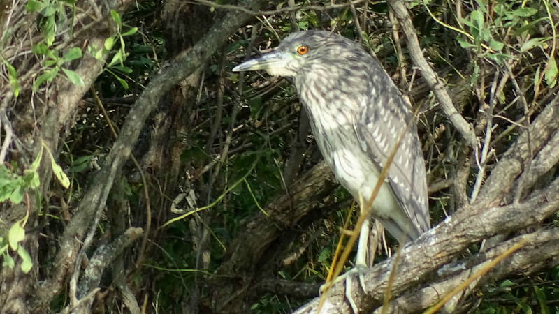 An immature Black-crowned Night-Heron tries to hide in the shadows. Photo by participant Paula Connelly.