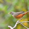 Many places worldwide have an American Robin cousin. In eastern South America it's the common and cooperative Rufous-bellied Thrush. Photo by participant Daphne Gemmill.