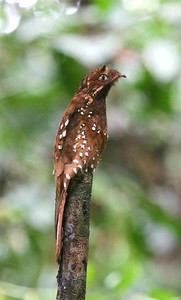 "Next, we share images from our ""Shiripuno Lodge: Heartland of the Waorani"" tour in Amazonian Ecuador. Guide Mitch Lysinger captured this gorgeous Rufous Potoo on its day roost."