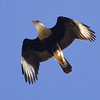 We couldn't have asked for a better look at a Crested Caracara. Photo by guide Cory Gregory.