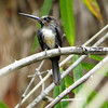 Another Atlantic Forest specialist is the Three-toed Jacamar--two toes forward, one back! Photo by participant Ben Oko.