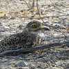 This well-camouflaged Spotted Thick-knee wisely took a break in the shade. Photo by guide Terry Stevenson.