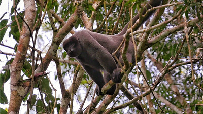 "We move next to images from our new ""Brazil's Remote Rio Tapajos"" tour. The pelage of Common Woolly Monkeys almost appears better suited for regions colder than their tropical range. Photo by guide Bret Whitney."