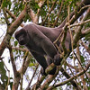 """We move next to images from our new """"Brazil's Remote Rio Tapajos"""" tour. The pelage of Common Woolly Monkeys almost appears better suited for regions colder than their tropical range. Photo by guide Bret Whitney."""