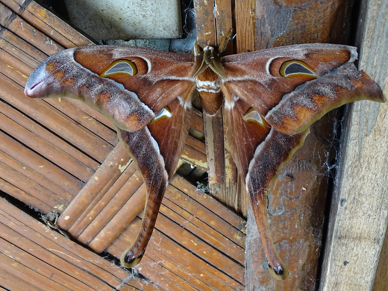 This male Hercules Moth in New Guinea is huge, but the females are even larger, with a wingspan of almost a foot! Photo by guide Phil Gregory.