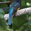 The light was right to catch the iridescence on this Green-backed Trogon. Photo by guide Mitch Lysinger.