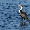 """Can """"White-breasted"""" Great Cormorants walk on water? Photo by participant Peggy Keller."""