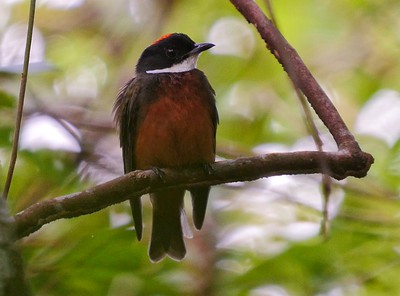 Seeing a Flame-crowned Manakin this well is a real treat, as individuals often sit motionless for long periods. Photo by guide Bret Whitney.