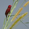"""A Crimson Finch is a striking start to our images from our """"Papua New Guinea & New Britain in Style"""" tour. We'll be visiting New Britain again as an extension to our regular PNG tour, which is linked above. (Photo by guide Phil Gregory)"""