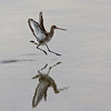 """Migrant or wintering palearctic shorebirds such as this lovely Black-tailed Godwit are also regulars at Oued Souss and Oued Massa. <div id=""""caption_tourlink"""" align=""""right""""> [Photo © George Armistead]</div>"""
