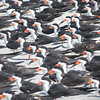 """More of the same Black Skimmers... <div id=""""caption_tourlink"""" align=""""right""""> [Photo © Pat Newman]</div>"""