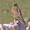 """Another regular raptor along our tour route: Eurasian Kestrel, here at Oukaimeden in the High Atlas mountains that stretch across Morocco <div id=""""caption_tourlink"""" align=""""right""""> [Photo © George Armistead]</div>"""