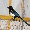 """Watch for a split in the magpies...the Moroccan birds, endemic to the Maghreb (Morocco, Algeria, Tunisia) feature several differences from their European counterparts, including that blue facial skin. <div id=""""caption_tourlink"""" align=""""right""""> [Photo © George Armistead]</div>"""