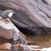 """And, to wrap up George's Morocco images, a nicely set shot of a White-throated Dipper in the High Atlas. <div id=""""caption_tourlink"""" align=""""right""""> [Photo © George Armistead]</div>"""
