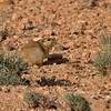 """We don't think of desert as prime habitat for mammals, but they're out there, and a couple along our route are not only fun to watch but feature wonderful names!  Here's the Fat Sand Rat... <div id=""""caption_tourlink"""" align=""""right""""> [Photo © George Armistead]</div>"""