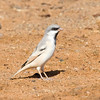 """With the desert scenery come the dry-country birds, such as this Desert Sparrow at Erg Chebbi. <div id=""""caption_tourlink"""" align=""""right""""> [Photo © George Armistead]</div>"""