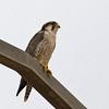 """Adult (<em>erlangeri</em>) Lanner Falcon <div id=""""caption_tourlink"""" align=""""right""""> [Photo © George Armistead]</div>"""