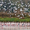 """Morocco's not all just desert and the High Atlas, of course.  Here's a large flock of Greater Flamingos and a big batch of egrets at Oued Souss. <div id=""""caption_tourlink"""" align=""""right""""> [Photo © George Armistead]</div>"""