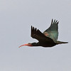 """We did find the bird many had come to Morocco to see—Northern Bald Ibis! This cooperative individual gave some very fine views. The Morocco population is thought to number about 500 birds now, but they can still be very difficult to find. <div id=""""caption_tourlink"""" align=""""right""""> [Photo © George Armistead]</div>"""