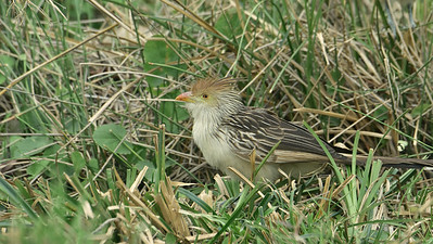 """The comical Guira Cuckoo is the """"voice"""" of the eastern Bolivian lowlands and the Pantanal. Photo by participant Brian Stech."""
