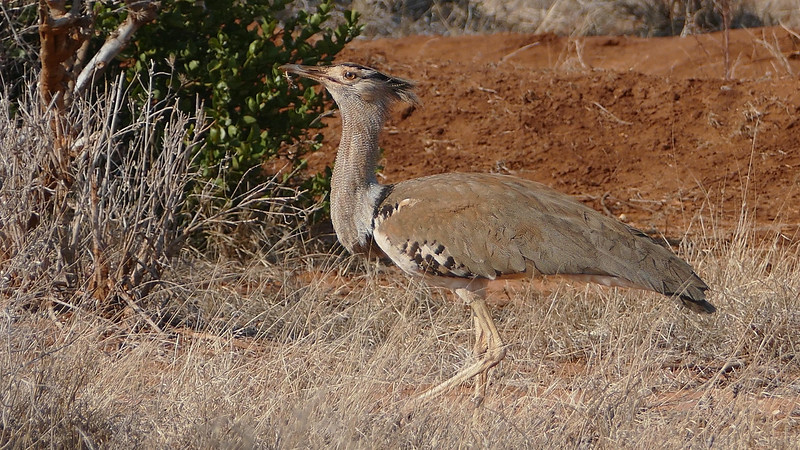 The massive Kori Bustard is the largest member of its family. Photo by participant Randy Siebert.