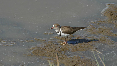 The Three-banded Plover has a mesmerizing button-eye. Photo by participant Randy Siebert.