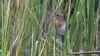 Nelson's Sparrow cap16 Doug Gochfeld