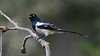 Magpie Tanager is not uncommon in the Atlantic Forest of eastern Brazil.  Photo by guide Marcelo Padua.