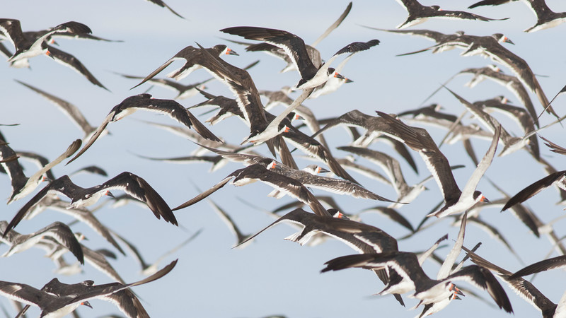 These Black Skimmers taking flight were part of an impressive flock of over 500 individuals.  (Photo by guide Doug Gochfeld)