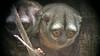 Night Monkeys mao16b Bret Whitney