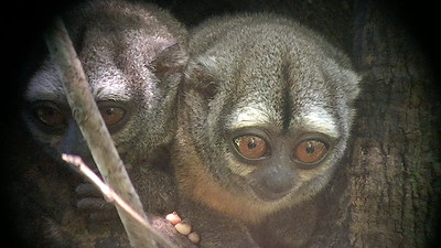 These are the only nocturnal monkeys, so Night Monkey seems apt. But these lovely creatures are also know as owl monkeys and douroucoulis. Photo by guide Bret Whitney.