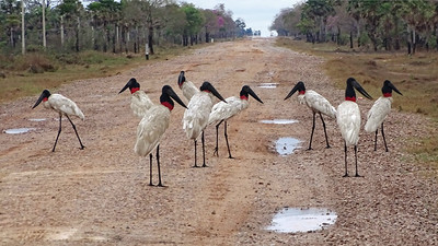 Crossing the Atlantic to South America, here's a set of images from our Bolivia's Avian Riches tour. Our route was temporarily interrupted by a Jabiru roadblock. Photo by guide Dan Lane.