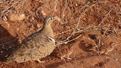 Did you spot the camouflaged chicks? Here is a Black-faced Sandgrouse with her brood, by participant Randy Siebert.