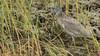 Yellow-crowned Night-Heron cap16 Doug Gochfeld