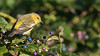 Cape May Warbler cap16 Doug Gochfeld