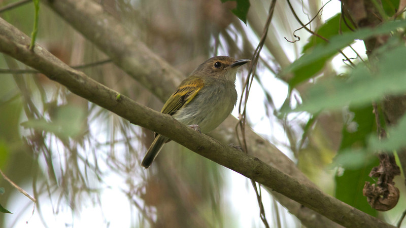 This Rusty-fronted Tody-Flycatcher paused for a picture by participant Ken Havard.