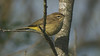 We close with a Palm Warbler, plentiful in fall migration at Cape May, and also photographed by Cory. Our thanks to everyone who contributed to this gallery! Till next month, good birding from all of us at Field Guides.