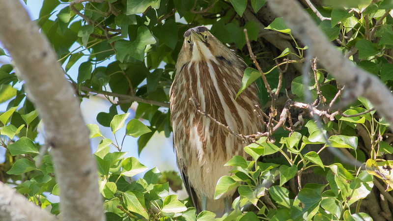 Apparently this American Bittern didn't get the memo that its species doesn't perch high in trees. Photo by guide Doug Gochfeld.