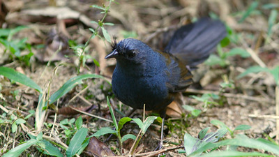 Also recently completed in Brazil: our Serra dos Tucanos tour. The namesake bristles of this Slaty Bristlefront, photographed by guide Marcelo Padua, may protect the bird's eyes as it forages in leaf litter.