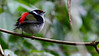 """Our """"Manakin"""" (better known as guide Marcelo Padua) shared this image of a Pin-tailed Manakin, an Atlantic Forest endemic."""