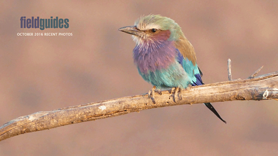 Lilac-breasted Roller is an African All-Star. We begin this month's gallery with a stunning collection of images from our Kenya Safari Spectacular tour guided by Terry Stevenson. Photo by participant Randy Siebert.