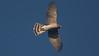 Coopers Hawk cap16b Cory Gregory