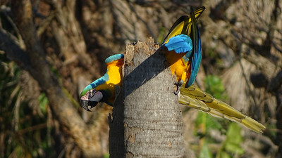 This twisted tangle of brilliant colors is a pair of Blue-and-yellow Macaws investigating a cavity. Photo by guide Dan Lane.