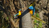This twisted tangle of brilliant colors is a pair of Yellow-and-blue Macaws. (Photo by guide Dan Lane)