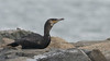 Our boat trip allowed for a wonderful study of this Great Cormorant. Photo by guide Doug Gochfeld.